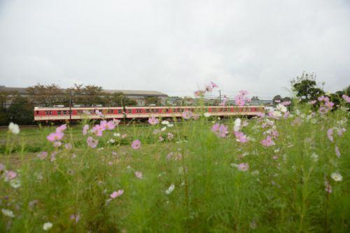 10月11日の神戸電鉄(雨に濡れる秋桜)